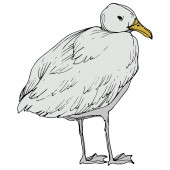 Vector Sky bird seagull in a wildlife isolated Black and white engraved ink art Isolated seagull illustration element