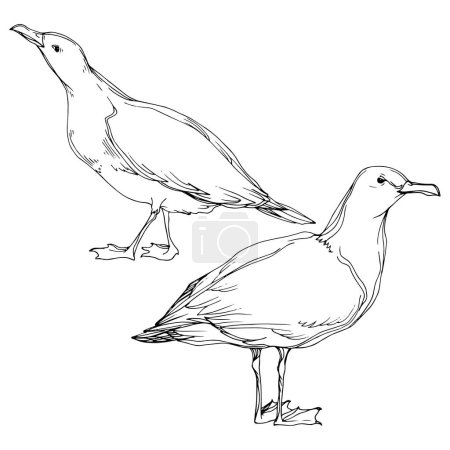 Illustration for Vector Sky bird seagull in a wildlife. Black and white engraved ink art. Isolated seagull illustration element on white background. - Royalty Free Image