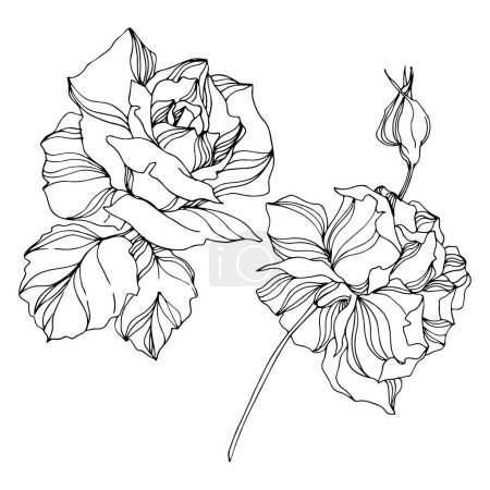 Illustration for Vector Rose floral botanical flowers. Wild spring leaf wildflower isolated. Engraved ink art. Isolated roses illustration element on white background. - Royalty Free Image