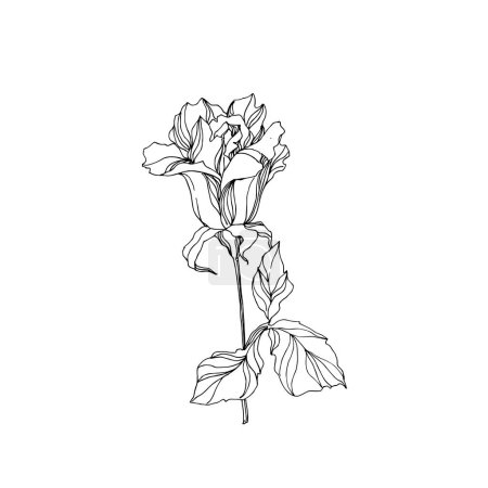 Illustration for Vector Rose floral botanical flower. Wild spring leaf wildflower isolated. Black and white engraved ink art. Isolated rose illustration element on white background. - Royalty Free Image