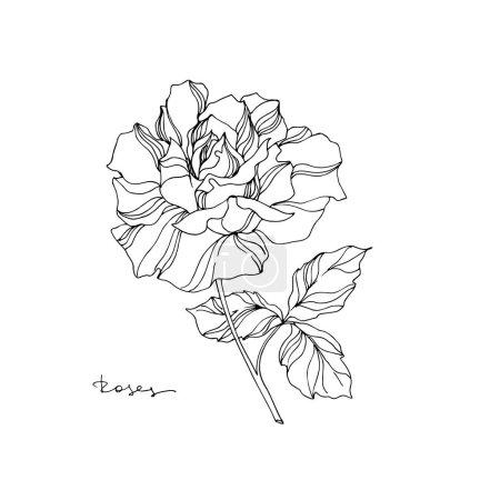 Illustration for Vector Rose floral botanical flower. Wild spring leaf wildflower isolated. Black and white engraved ink art. Isolated rose illustration element on white background. - Royalty Free Image