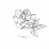 Vector Rose floral botanical flower Black and white engraved ink art Isolated rose illustration element