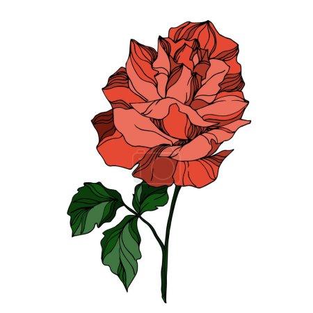 Vector Roses floral botanical flowers. Black and white engraved ink art. Isolated rose illustration element.