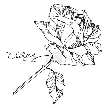 Illustration for Vector rose floral botanical flowers. Wild spring leaf wildflower isolated. Black and white engraved ink art. Isolated roses illustration element on white background. - Royalty Free Image