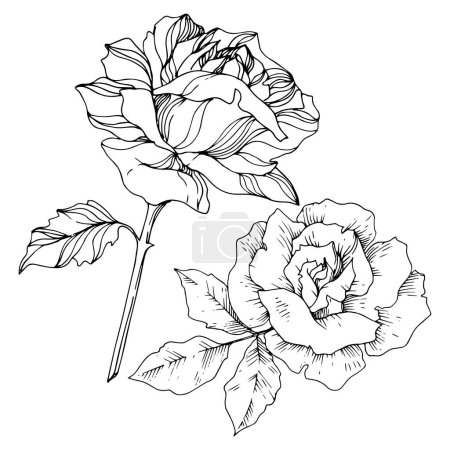 Vector rose floral botanical flowers. Black and white engraved ink art. Isolated roses illustration element.