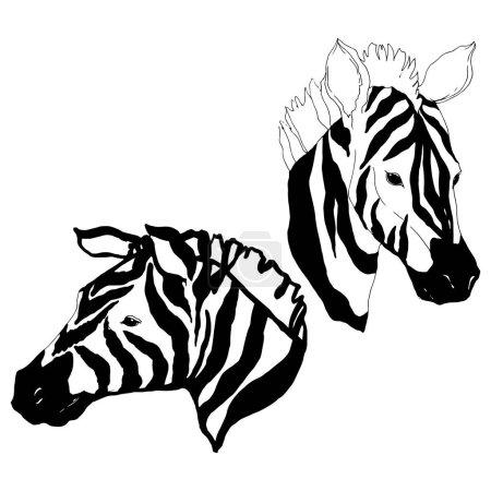 Illustration pour Vecteur zèbre exotique animal sauvage isolé. Encre gravée en noir et blanc. Elément isolé d'illustration animale sur fond blanc . - image libre de droit