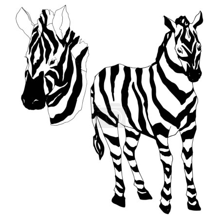 Illustration for Vector Exotic zebra wild animal isolated. Black and white engraved ink art. Isolated animal illustration element on white background. - Royalty Free Image