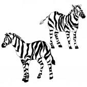 Vector Exotic zebra wild animal isolated Black and white engraved ink art Isolated animal illustration element