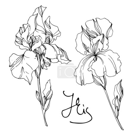 Illustration for Vector Iris floral botanical flowers. Wild spring leaf wildflower isolated. Black and white engraved ink art. Isolated irises illustration element on white background. - Royalty Free Image