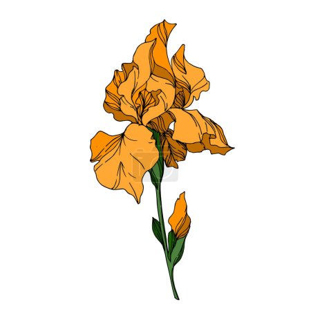 Illustration for Vector Iris floral botanical flowers. Wild spring leaf wildflower isolated. Black and white engraved ink art. Isolated irises illustration element on white background. - Royalty Free Image