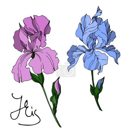Illustration pour Vecteur Iris fleurs botaniques florales. Feuille sauvage de printemps fleur sauvage isolée. Encre gravée en noir et blanc. Iris isolé élément d'illustration sur fond blanc . - image libre de droit