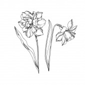 Vector Narcissus floral botanical flowers Black and white engra
