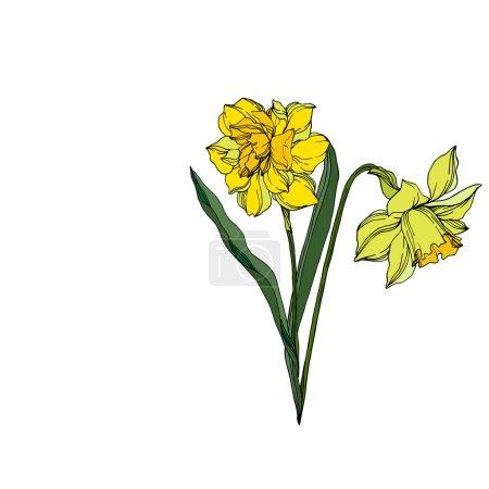 Ilustración de Vector Narcissus flores botánicas florales. Hoja de primavera silvestre wildflower aislado. Arte de tinta grabada en blanco y negro. Elemento de ilustración narciso aislado sobre fondo blanco. - Imagen libre de derechos