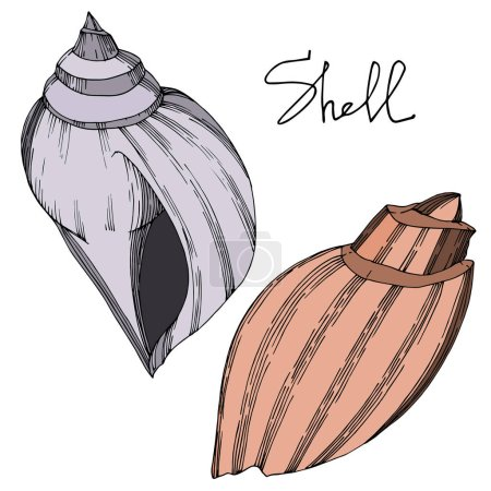 Illustration for Vector Summer beach seashell tropical elements. Black and white engraved ink art. Isolated shells illustration element on vhite background. - Royalty Free Image