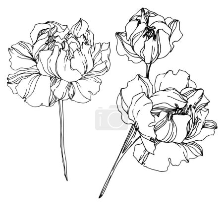 Vector Peony floral botanical flowers. Black and white engraved