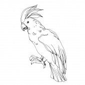 Vector Sky bird cockatoo in a wildlife isolated Black and white