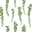 Creeper green ivy. Wall climbing plant hanging fro...