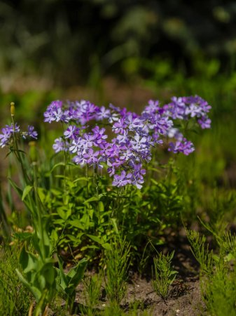 Photo for Phlox subulata blooming in May in the garden in spring in sunny weather - Royalty Free Image