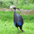 Guinea Fowl Acryllium Vulturinum Walking in the Pa...