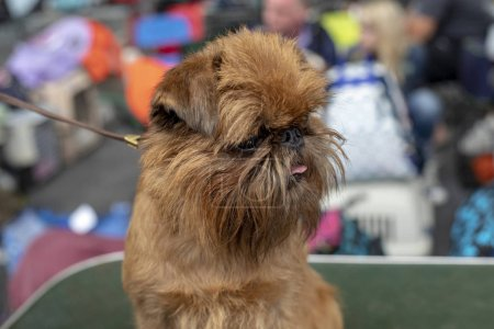 Photo for Little Brussels Griffon Dog with his tongue out of his mouth, on a leash at a dog show. - Royalty Free Image