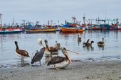 Pelicans in the harbor  waiting for the fishermen. Paracas, Peru