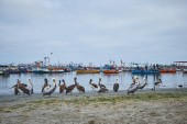 Pelicans standing in the harbor with many fishing boats around. Paracas, Peru
