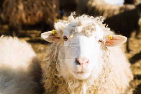 Porträt weißer Schafe auf einem Bauernhof in Yaremche
