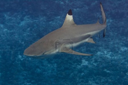Blacktip Reef Shark Underwater in