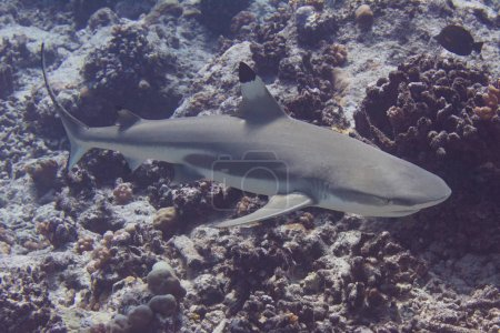 Blacktip Reef Shark on Coral
