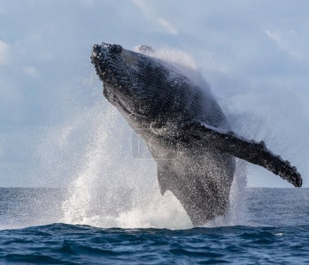 Humpback whale is jumping Madagascar