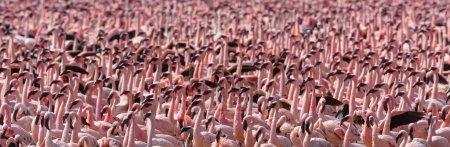 Photo pour Le Kenya. L'Afrique. Parc national de Nakuru. Réserve nationale du lac Bogoria. Flamants roses sauvages - image libre de droit