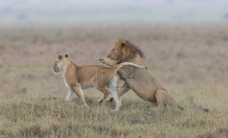 Wildlife. Lion and lioness in  savanna, Africa....