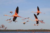 The flock of flying flamingos in Celestun