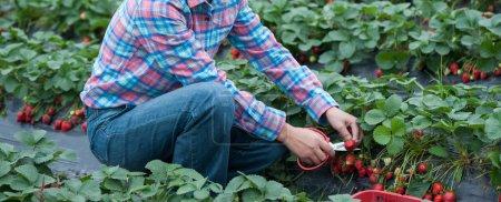 farmer picking ripe strawberries in the field