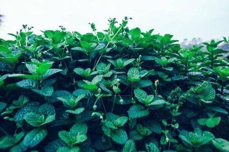 Green mint plants growing at vegetable garden...