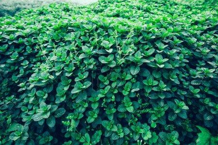 Photo pour Menthe verte plantes poussant dans le potager - image libre de droit