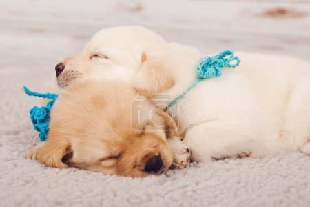 Cute puppies sleeping on wool carpet