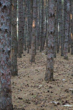 Photo pour Forêt d'arbres avec des pommes de pin sur le sol les pins - image libre de droit