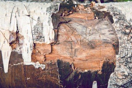 Photo pour Texture de vieil arbre, tronc de bouleau sec. Écorce blanche inégale, coupée en branches. Nature Écorce de bouleau Texture fond en bois . - image libre de droit