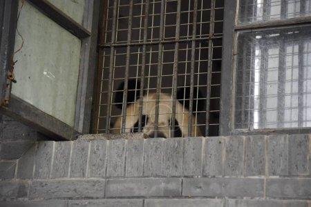 Giant panda Cheng Jiu is seen in its enclosure as ...