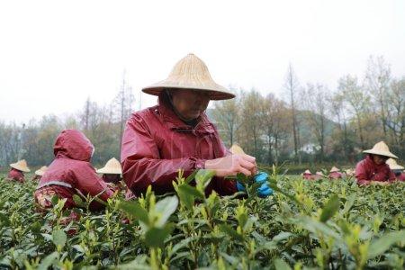 Chinese farmers harvest Longjing tea at a tea plan...