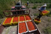 Workers carry goji berries picked up at Yuli county, Bayingolin Mongol Autonomous Prefecture, northwest China's Xinjiang Uyghur Autonomous Region, 2 July 2017