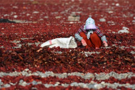 A farmer puts chili peppers