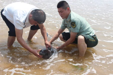 Photo for Chinese police officers try to help the finless porpoise cub stranded on a beach swim back into the sea in Haiyang city, east China's Shandong province, 28 June 2017 - Royalty Free Image