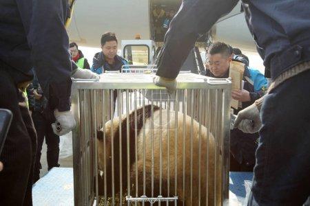 Photo pour Les membres du personnel portent les cages avec les pandas de géants de jumeaux garçon-fille «Xinghui» et «Xingfan» de Sichuan China Conservation and Research Center pour le Panda géant à l'aéroport de Xingdong Nantong dans la ville de Nantong, province de Jiangsu du Nord-est de la Chine, 22 janvier - image libre de droit