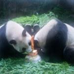 Giant panda twins Chengda and Chengxiao enjoy thei...