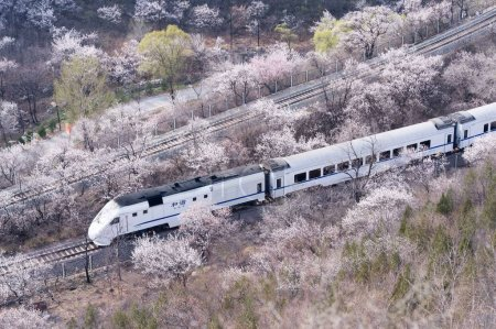 Photo for A CRH (China Railway High-speed) bullet train travels through the apricot flower sea near the Juyongguan Great Wall at Juyong Pass in Beijing, China, 5 April 2015. - Royalty Free Image