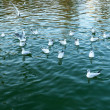 Group of swimming seagulls on the pond at sunset t...