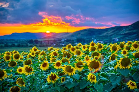 Photo for Sunset on the field of sunflowers - Royalty Free Image