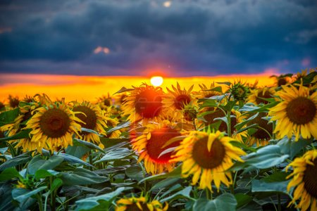 Photo for Sunflower field in sunset light - Royalty Free Image